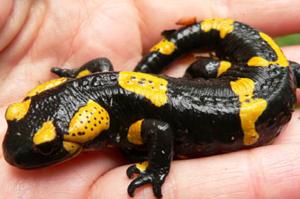 Описание внешнего вида огненных саламандр
