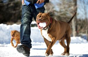 Собака питбуль с хозяином