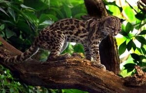 Кошка оцелот – леопард в миниатюре. Описание и фото оцелота