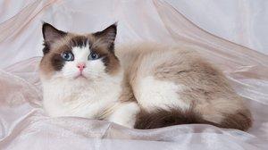 Кошка Рэгдолл описание породы характер особенности ухода