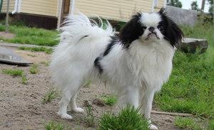 Собака японский хин