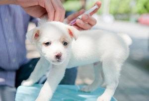 Первые прививки собакам