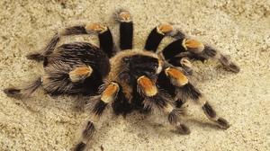Что ест паук птицеед