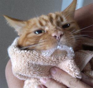 Лечение и профилактика бешенства у кошек