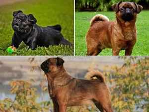Собаки породы брабансон