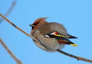 Характеристика птицы свиристель, чем питается и где обитает, перелетная птица или нет