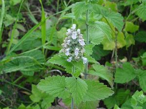 Растение Кошачья мята