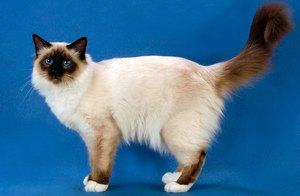 Священная бирма: фото и описание породы Бирманская кошка