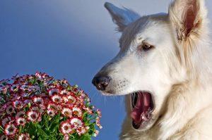 Собачья астма