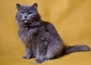 Характеристика кошки нибелунг
