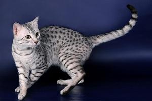 Возникновение кошки египетской мау