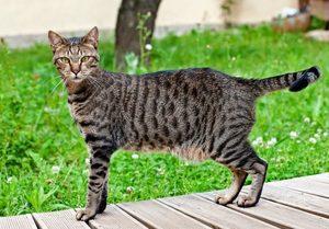 Внешность кошек египетской породы