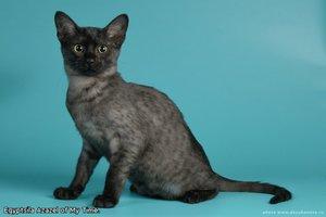 Виды окрасов египетской кошки
