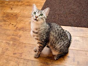 Характер кошки мау