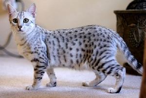Уход за египетской кошкой мау