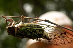 Существует множество разновидностей цикад, на фото - дубовая