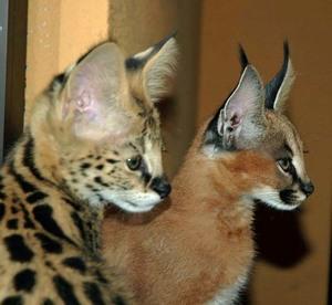 Внешний вид кошек каракал