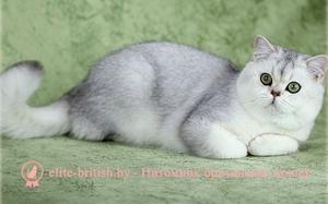 Кошка окраса Серебристая затушеванная шиншилла