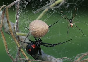 Каракурт – самый ядовитый паук в мире