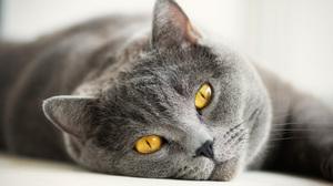 Особенности британской породы кошек