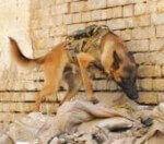 Дрессировка служебных собак: были и легенды