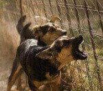 Лающая собака: еще раз о собачьем лае