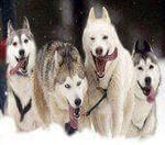 Самые выносливые породы собак