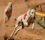быстрые собаки