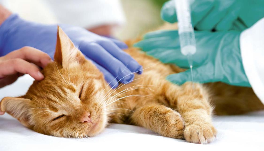 Как подобрать и дать обезболивающее для кошки