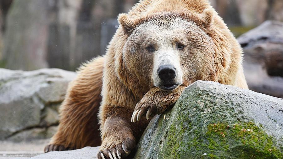 Тест: О медведях вы что знаете?