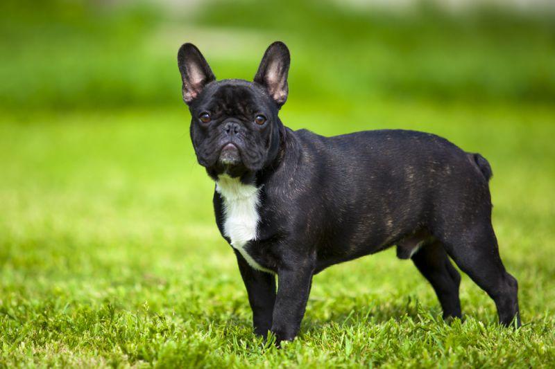 Породы собак, подходящие для квартиры
