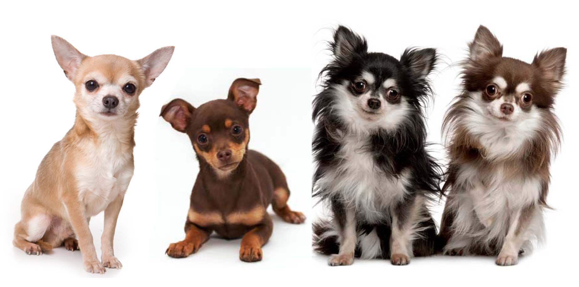 Маленькие породы собак и особенности их содержания