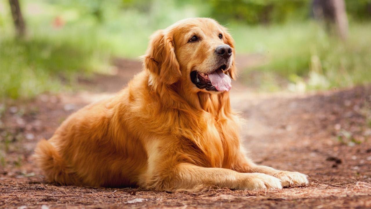 Собака породы золотистый ретривер
