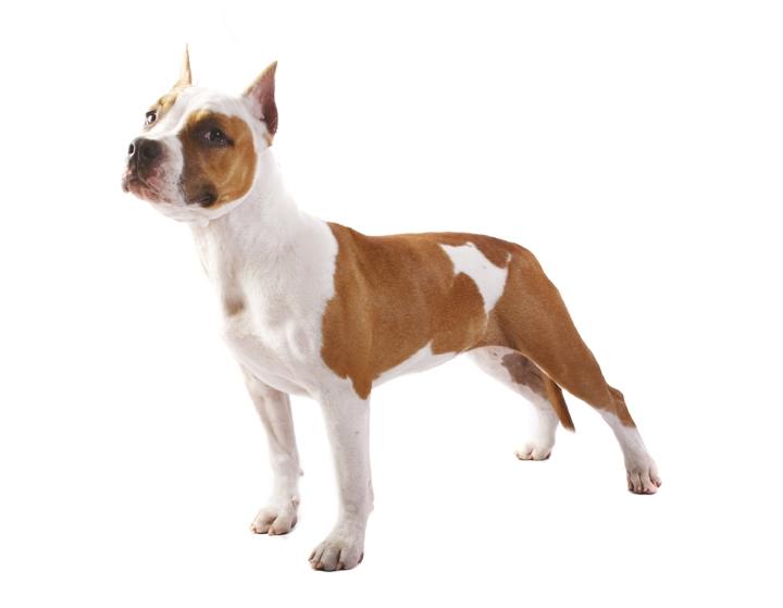 Порода собак американский стаффордширский терьер