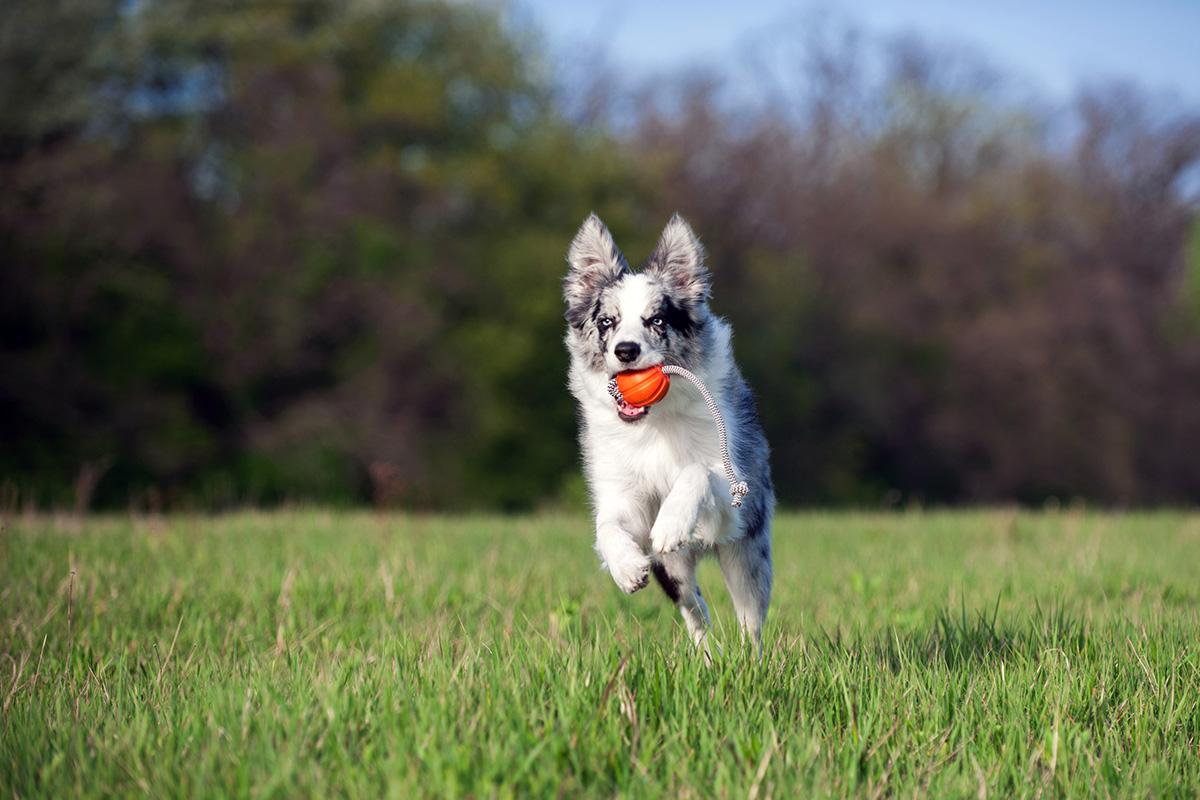 Советы и 6 рекомендаций по выбору игрушек для собак маленьких пород