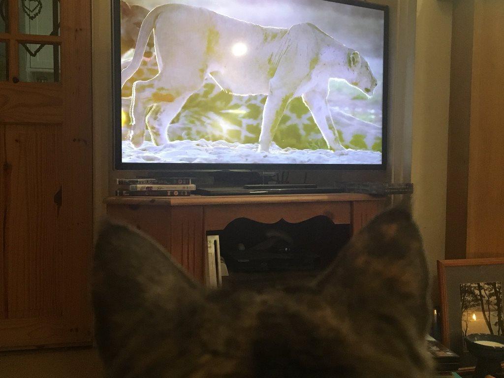 Чем уникальны коты, которые с интересом смотрят телевизор