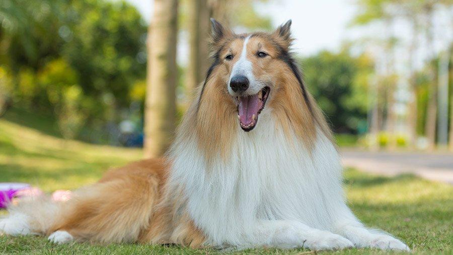 Основные правила ухода за длинношерстными породами собак
