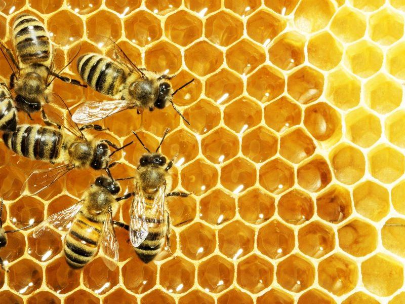 Когда ячейки заполняются на четверть, насекомые собирают мед и переносят его в соты