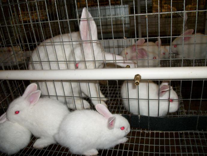 На кроликофермах достаточно часто применяются самостоятельно выполненные автоматические поильные системы
