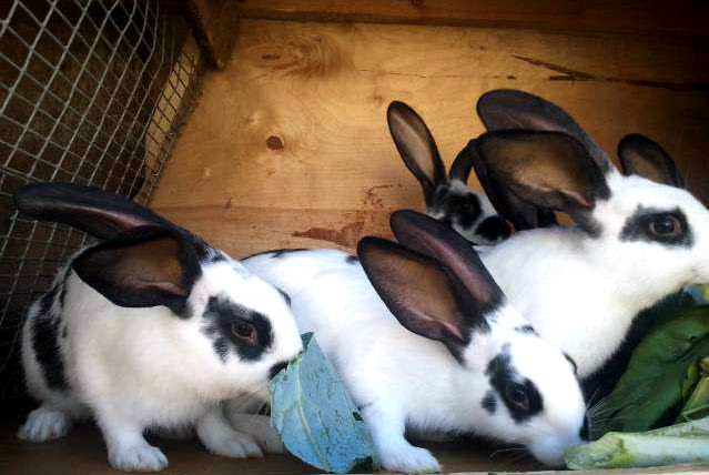 Для разведения выбираются кролики, которые имеют высокие показатели