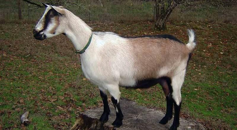 Сейчас в мире зарегистрировано более 350 основных пород, породных групп и отродий коз