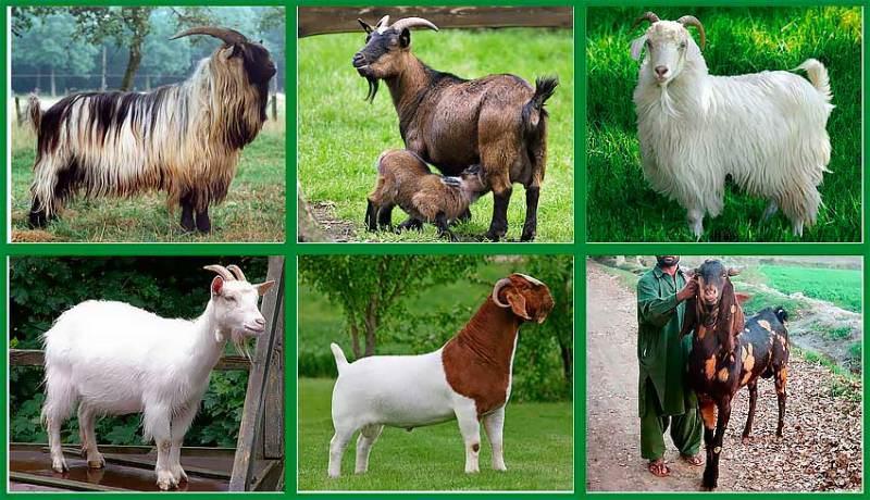 Живая масса коз - 50-90 кг, козлов - 70-100 кг.