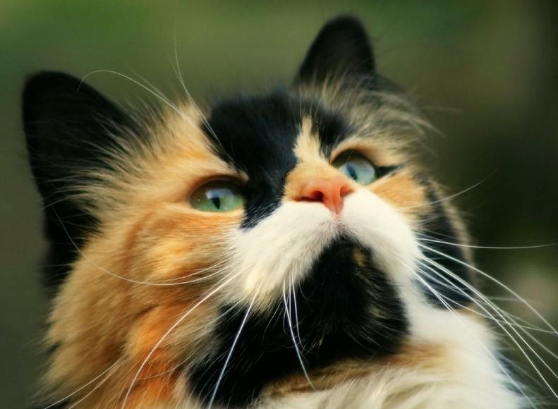 Забавная подборка интересных фактов о трёхцветных кошках