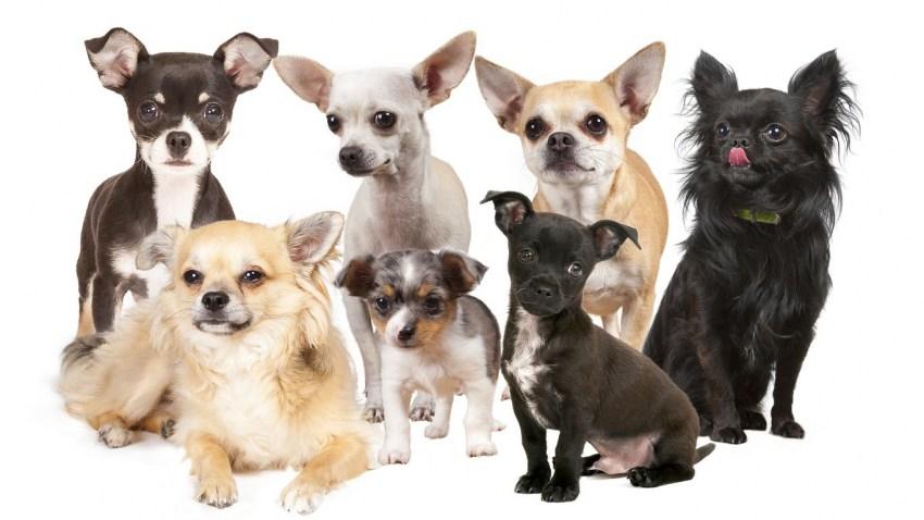 Стоит ли заводить маленьких собак: плюсы и минусы ухода и содержания