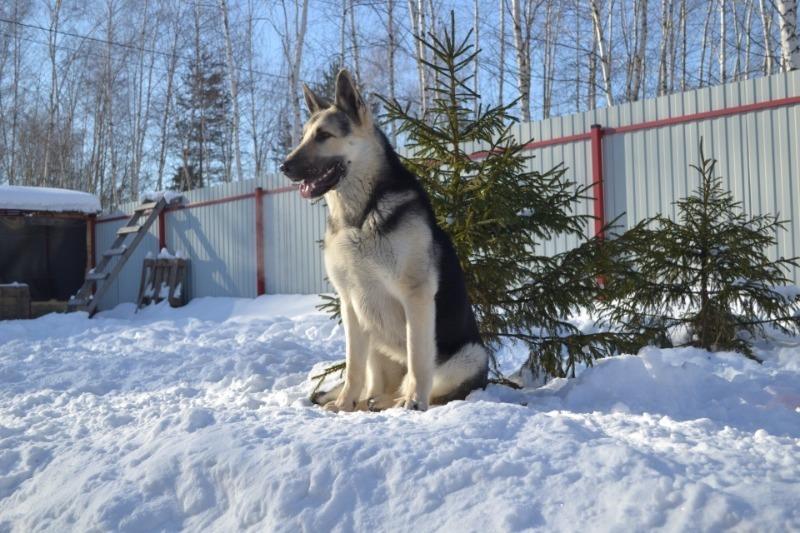 Как наш бесстрашный, но глупый пес защищал двор от снеговика